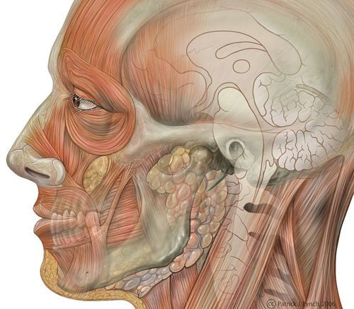 137 best facial anatomy images on pinterest, Muscles