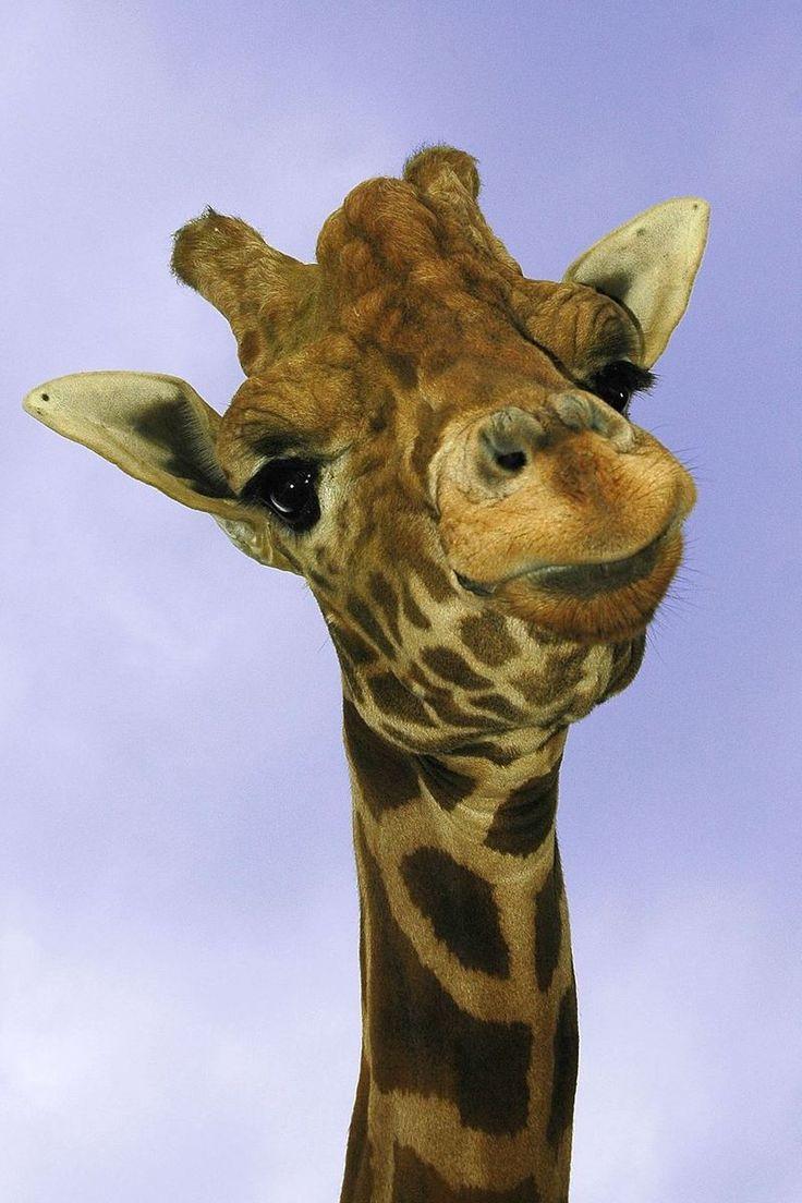 Жираф картинка смешные, днем рождения