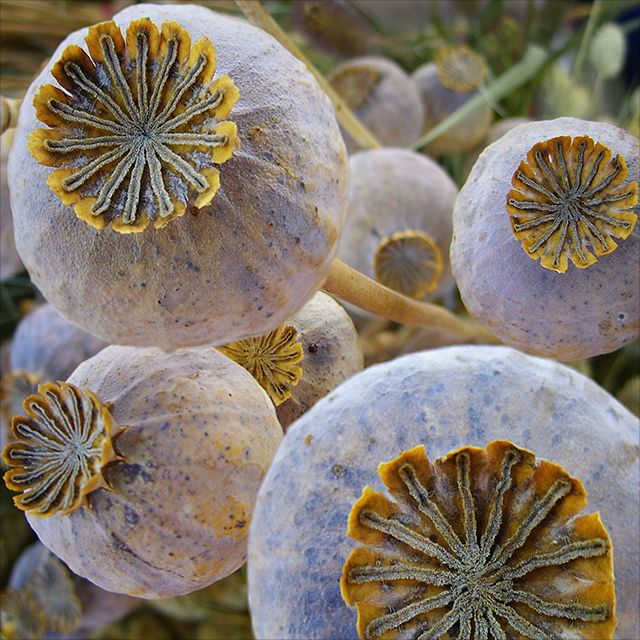 poppy seed heads - these are pretty sturdy when dry (unlike many dried flowers), have tall, straight stems, and they hold color for quite a while. i'd put a vaseful somewhere that keeps the tops below eye level.