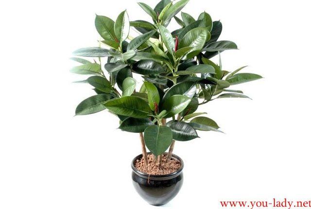 Комнатное растение Фикус каучуконосный и уход за ним