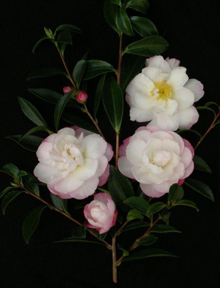 269 best images about camellias japonica and sasanqua for Camellia sasanqua