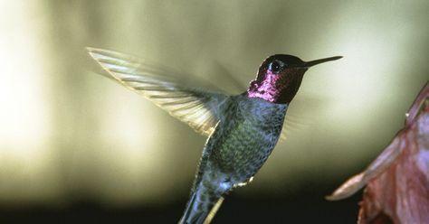 Cómo hacer un nido de colibrí. Los nidos del colibrí son notoriamente difíciles de encontrar. Una de las razones es simplemente porque son muy pequeños. La mayoría de la gente suele confundirlos con un crecimiento en la rama de un árbol, y pueden estar ubicados hasta 60 pies (18 m) en el aire. Si bien podrías tratar de seguir a una hembra colibrí a su nido, puedes terminar ...