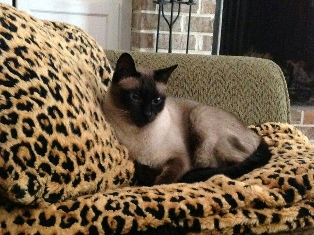 Siamese cats, just got to love them...