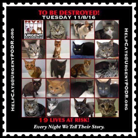 """TO BE DESTROYED 11/08/16 - - Info  Please Share:Please share View tonight's list here: http://nyccats.urgentpodr.org/tbd-cats-page/  The shelter closes at 8pm. Go to the ACC website( http:/www.nycacc.org/PublicAtRisk.htm) ASAP to adopt a PUBLIC LIST cat (noted with a """"P"""" on their profile) and/or … CLICK HERE FOR ADD...-  Click for info & Current Status: http://nyccats.urgentpodr.org/to-be-destroyed-091716/"""