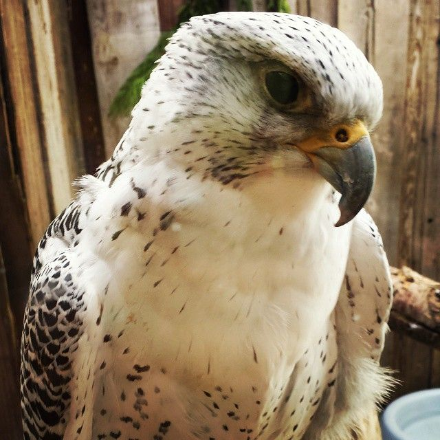 Saw This Lovely Lady At The Zoo Today Gyrfalcon Falcon Zoo Zoo Lovely Instagram