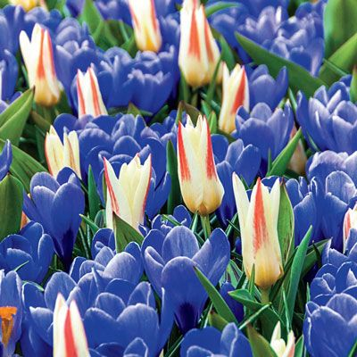 Welcome Spring Early Blooming Mix | Spring Hill Nurseries