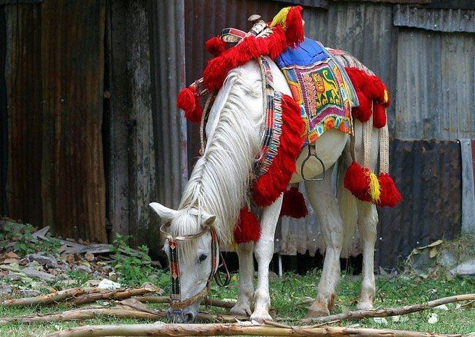 Horse saddled in the Oromo tradition.