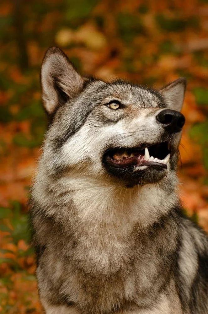 сделать фото волков злых красивых выделили несколько