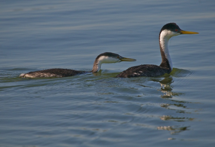 Western Grebes photographed at Chambers Bay WA