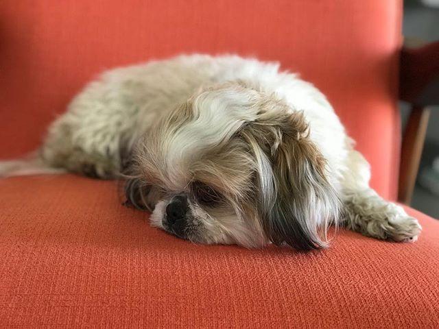 Sunday, relaxing day... #sundayvibes #foxiepup #dogsofinstgram #shihtzugram #shihtzulife #シーズー #いぬ #わんちゃん #かわいい #犬 #시츄사랑 #ふわもこ部 #愛しい子 #犬バカ部 #shihtzumania #shihtzuworld #shihtzudog #愛犬 #函館 #写真 #白黒シーズー #ミラーレス #ミラーレス一眼 #カメラ女子 #カメラ #カメラ初心者 #ミニマリスト #marshmallowcoveredincottoncandy