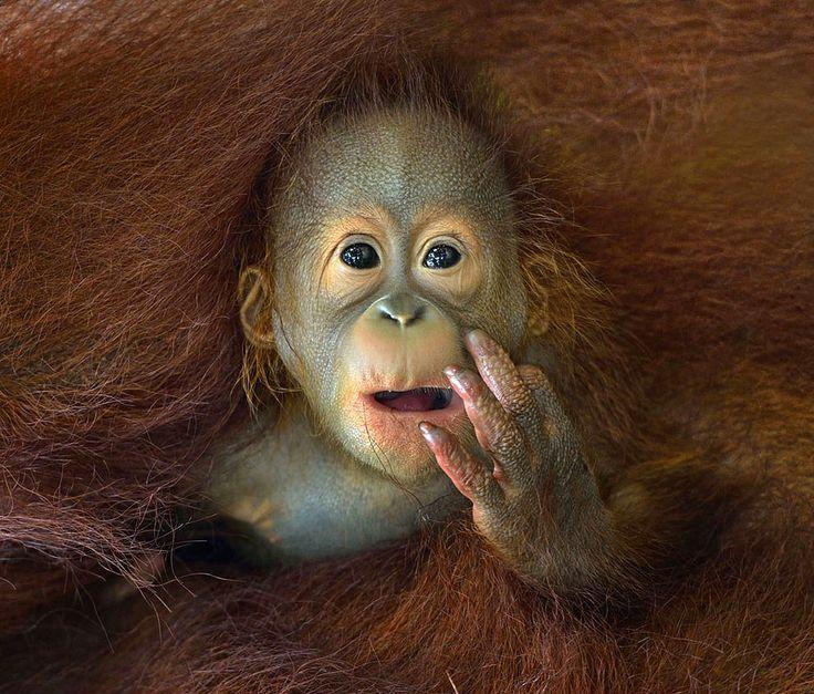 Dünya Fotoğrafçılık Organizasyonu tarafından düzenlenen Sony Dünya Fotoğraf Ödülleri için finale kalan fotoğraflar açıklandı. Finale kalan fotoğraflardan öne çıkanları sizlerle paylaşıyoruz :) Bebek orangutan. Fotoğraf: Chin Boon Leng #Lukapu #Fotokitap #Fotograf #Album #Takvim #Sony