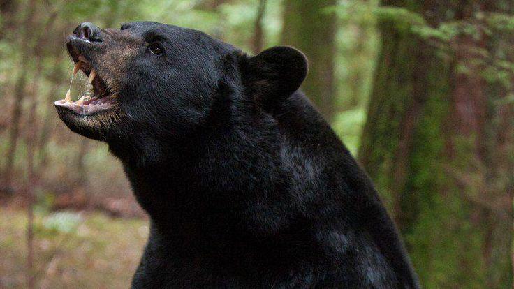 do black bears attack humans - 736×414