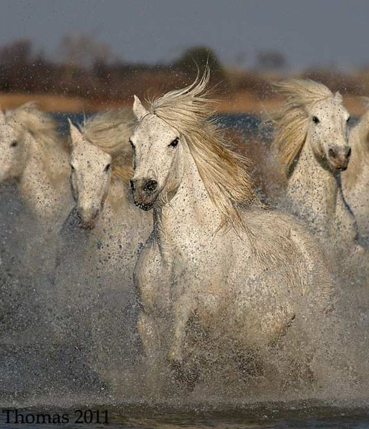 Galloping White Horses