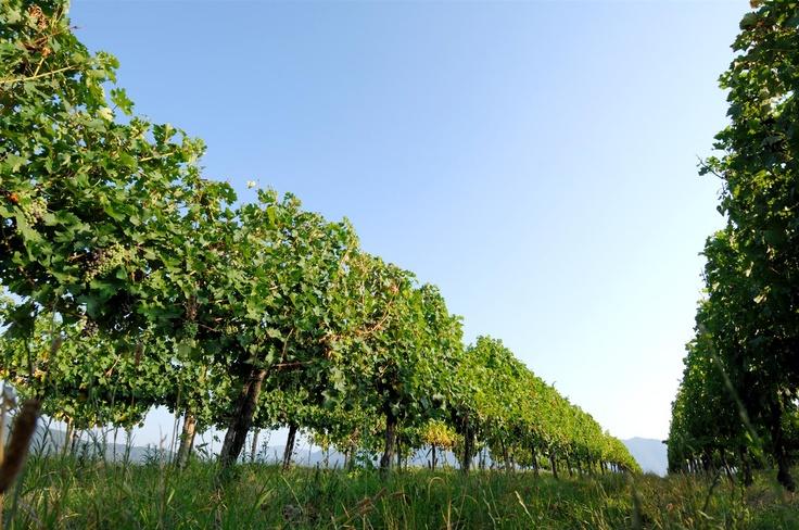 Barone Pizzini Vineyards Italy