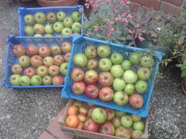 John ' O'Gold eating apples will keep until May in cool garage.  Picked three weeks earlier this year.