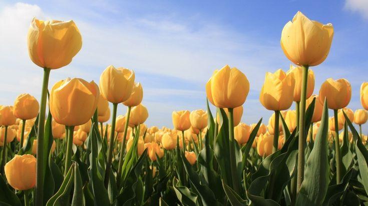 поле, цветы, небо, растения, поляна, желтые, тюльпаны, природа