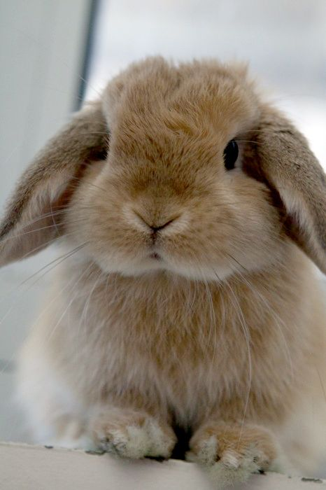 Holland Lop - Looks like our Butterscotch :)