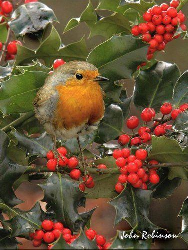 Pretty Robin Scene