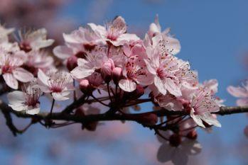 Ma înnebunesc florile de cires, sunt fascinata de copacii înfloriti si sunt ferm convinsa ca nimic nu poate fi mai romantic ca o nuntă organizata într-o livada cu ciresi sau piersici in floare.