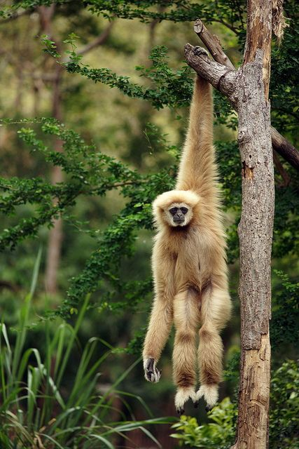 The Gibbon is a primate (lesser great ape) that lives in the rainforest of Southeast Asia. This species is threatened by habitat loss.  by toon_ee