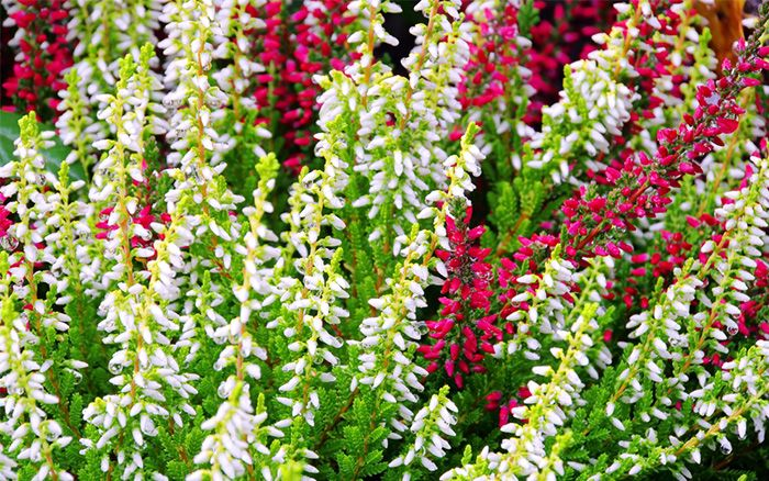 erica-heather is a colourful winter flower and has evergreen foliage