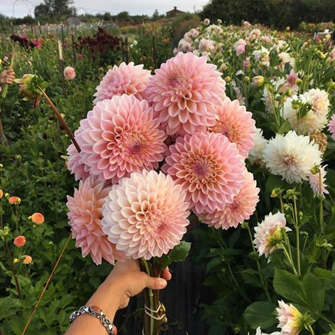 28 Best Images About Dahlias I Want On Pinterest Hedges