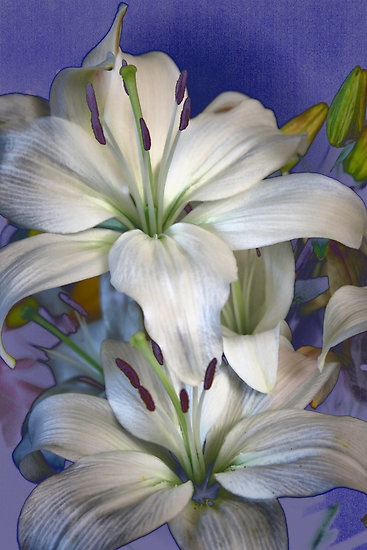 Stargazer lily Lily Style by Barbara Brown