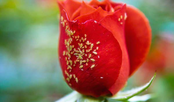 Heureusement, il existe des produits écologiques pour ne pas abîmer vos plantes.  Voici 3 traitements maison qui marchent pour vous débarrasser des pucerons sur vos plantes.  Découvrez l'astuce ici : http://www.comment-economiser.fr/eliminer-pucerons-naturellement.html