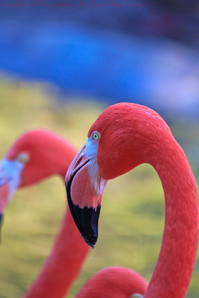We're now up to 11 #flamingo eggs in the Front St. lagoon; hatches expected mid-June.