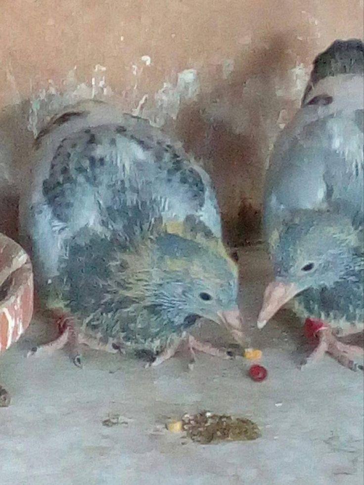 De duifjes hebben nog enkele dons veertjes maar voor de rest zijn ze al mooi grijs!