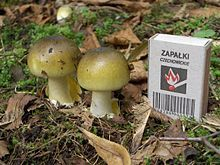 """Young Amanita phalloides, """"death cap"""" mushrooms.   Watch out for these!"""