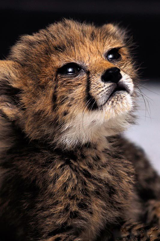 Baby Cheetah, may there be many, many more
