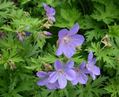 Hardy Geranium Plants - Growing Hardy Cranesbill Geranium And Its Care