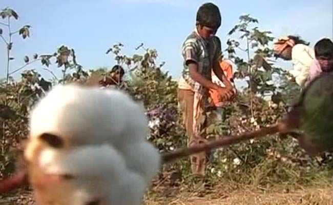 Telangana has reported over 350 farmer suicide deaths this kharif season. The impact of the drought and agriculture distress that is taking lives is also being felt on future generations. NDTV found school-going children, as young as 8, working in the fields, picking cotton.