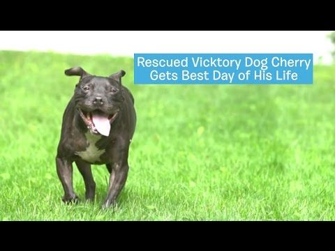 Cherry, A Rescued Michael Vick Pit Bull, Gets His Best Day (EVER!) |  The Animal Rescue Site Blog