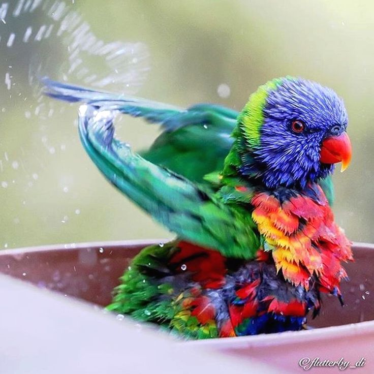 """960 Likes, 17 Comments - Bird Watching Lover (@bird_watching__) on Instagram: """"Rainbow Lorikeet having fun with water. Photo by @flutterby_di Photo selected by @lea_scaddan.…"""""""