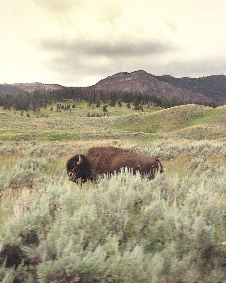 maybe the buffalo is my spirit animal.  <3