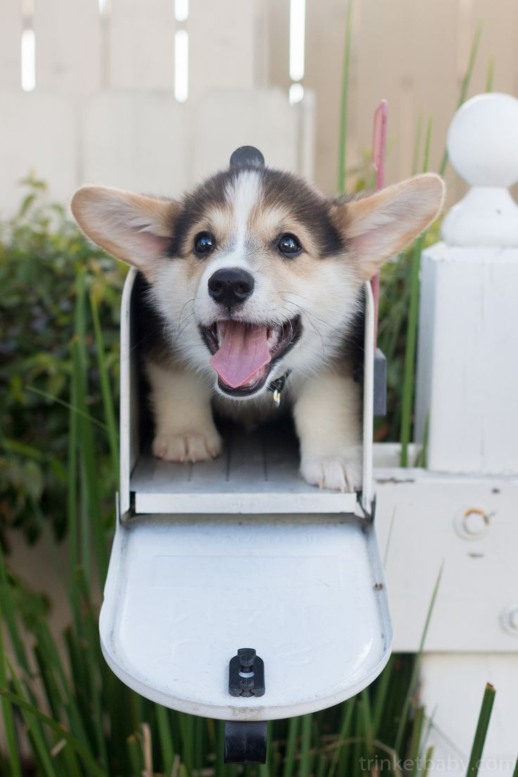 Special Delivery! | | Cute Pembroke Welsh Corgi puppy, Trigger, via Flickr - Photo Sharing! ©trinketbaby
