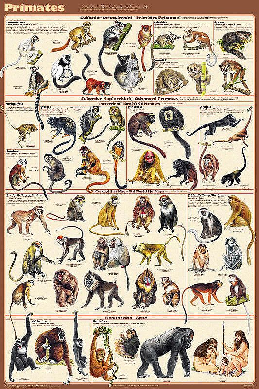 Primates Poster 24x36 by Feenixx Publishing This order, Primates, includes the lemurs, tarsiers, monkeys and apes. Most live in tropical or subtropical regions of the Americas, Africa and Asia. Fossil