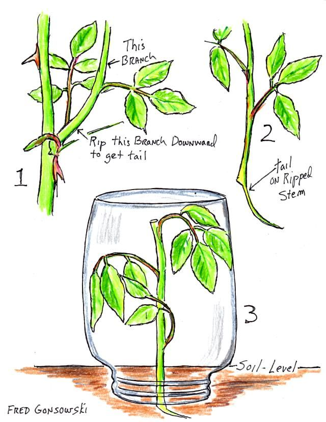 Starting a rose bush and other plants from a cutting (slip). Will try this method but can't imagine leaving jar on in summer heat. Will have to watch it.