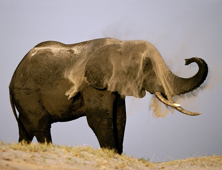 tienen una gran cabeza, amplias orejas, tompa larga, piel arrugada y enormes colmillos