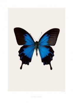 Poster Butterfly Blue Hagedornhagen - Lunehjem.no Nettbutikk