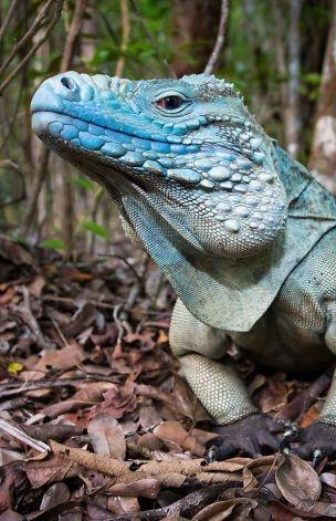 Blue iguana breeding program succeeding