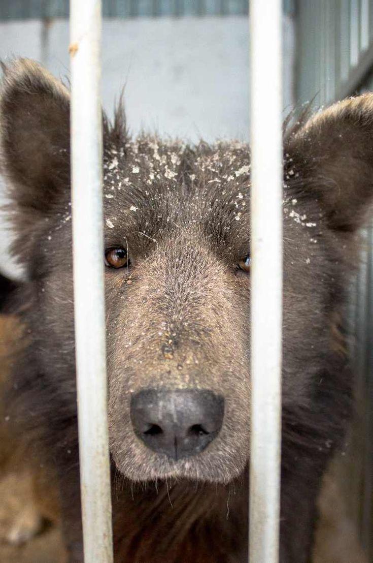 """El perro que parece un oso ....  Los trabajadores de un refugio de animales ubicado enCheliábinsk (Rusia) no daban crédito a lo que estaban viendo cuando conocieron a Potápich, al que algunos ya llaman """"perroso"""".  Potápich es un perro que parece un oso y hace falta detallarlo varias veces para ver que realmente se trata de un perro. #macotas #mascota #animales #animal #noticia #noticias #perroso #oso #perropareceoso #rusia #fotos #foto"""