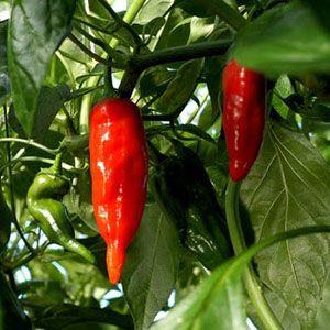 Miedot chilit | Salo | Heinän Puutarha