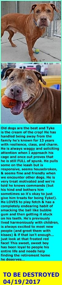SAFE 4-19-2017 by For the Love of Dog - Rottweiler Rescue of New Hampshire ---  SUPER URGENT 04/10/2017 Brooklyn Center  TYKE – A1108463  MALE, BROWN, AM PIT BULL TER MIX, 13 yrs OWNER SUR – EVALUATE, NO HOLD Reason INAD FACIL Intake condition GERIATRIC Intake Date 04/10/2017  http://nycdogs.urgentpodr.org/tyke-a1108463/