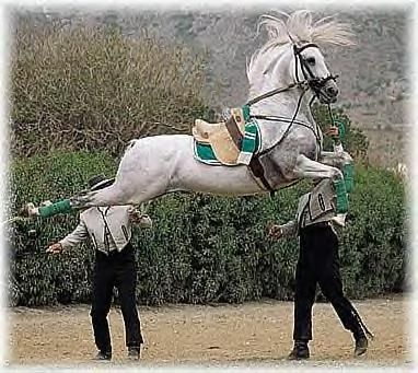 """Capriole; """"leap of the goat"""", the horse jumps from a raised position of the forehand straight up into the air, kicks out with the hind legs, and lands more or less on all four legs at the same time. It requires an enormously powerful horse to perform correctly, and is considered the most difficult of all the airs above the ground."""