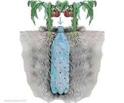 Tomatenplanten kweken met een perfecte bewatering door middel van plastic flessen met perforatie. De plastic fles zit tussen de wortels ingegraven.