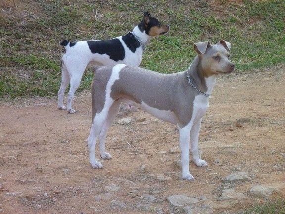GWEN DA PEDRA DE GUARATIBA! Terrier Brasileiro (Fox Paulistinha)  Fêmea Tricolor de Isabela. Nascimento: 25/06/10. Proprietária: Bruna. Acasalamento: Nescau x Lalá. Filhotes: http://www.canilpguaratiba.com/html/filhotes_tb.html Facebook: http://pt-br.facebook/canilpedradeguaratiba Instagram: http://instagram.com/canilpguaratiba #canilpedradeguaratiba #canilpedradeguaratibafoxpaulistinha #canilpedradeguaratibaterrierbrasileiro #foxpaulistinha #terrierbrasileiro