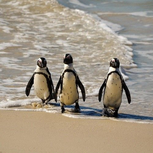 African penguins from South Africa. Jackass penguins. They are so cute!